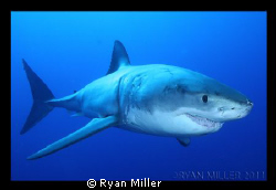 White Shark at Isle De Guadalupe Sept 2011 by Ryan Miller 